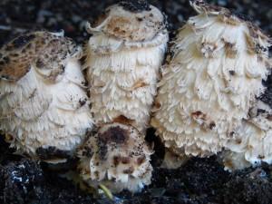 big hairy mushrooms