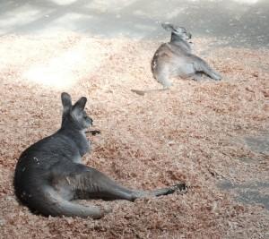 Lazy kangaroos.