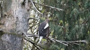 Sea Eagle.