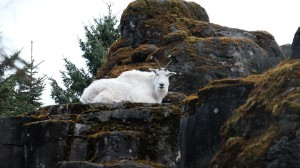 Mountain goat.  Good thing he's not in the same enclosure as the wolf!