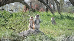 Patas monkeys.  They can apparently run 35 mph!