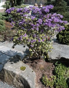 Lastly, a purple azalea in the rock garden.  This looks great at 100% but kind of blah when I shrink it for the blog post.