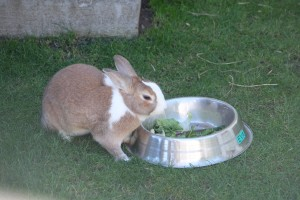 This is a Dutch rabbit.